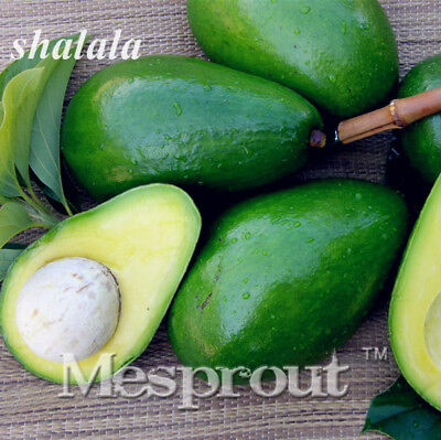 10 pcs Avocado seed Green Healthy Fruit Persea americana Mill Pear Home Garden
