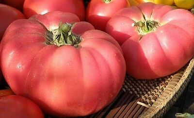 30 Seeds Brandywine Pink Tomato Heirloom Large Slicing Potato Leaved