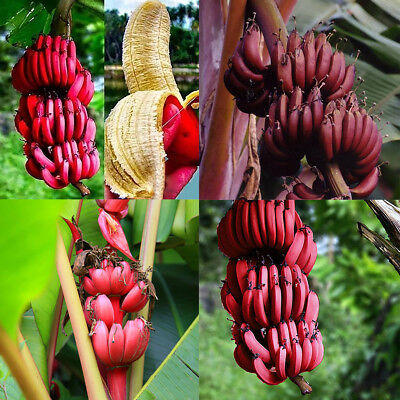 100Pcs Red Banana Seeds Sweet Delicious Fruit Tree Plants Garden Decor Showy