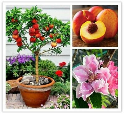 10 PCs/pack.Seeds'.peach tree.Bonsai.For garden.Pot.At home.Decor.