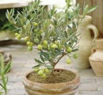 10 pieces Bonsai.Of The Olive Tree.Seeds.Pot.Garden.House.Balcony.