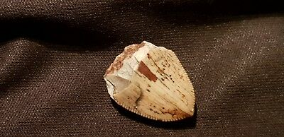 Ultra rare Viking pendant amulet Sharks tooth superb artefact found in York L82s