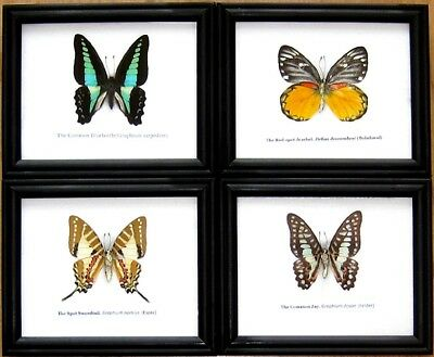 Rare Real 4 Butterfly Insect Display Taxidermy in Wood Frame Collectible Gift