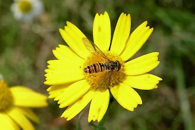 Corn Marigold Wild Flower Seed Native Meadow Bee Insect Friendly Garden Annual