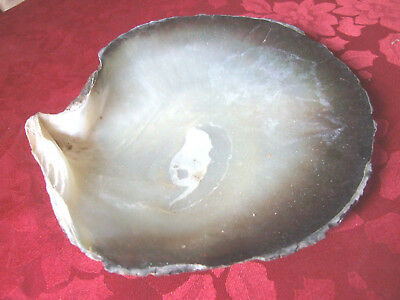 Large Natural Oyster Shell, 17cm (6 3/4 inches) diam
