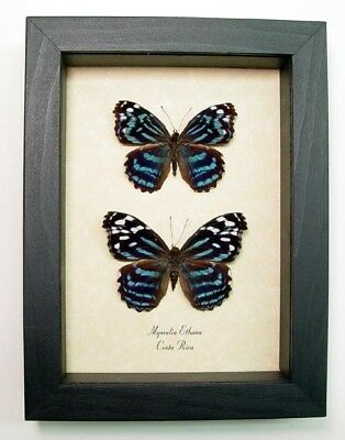 Blue Myscelia Ethusa Pair  Real Butterfly Set 7935