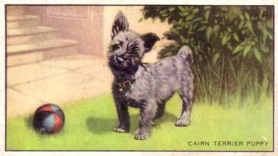 DOG Cairn Terrier, 70-year-old Trading Card, 1930s