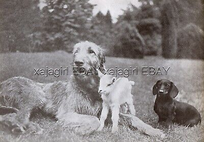 DOG Irish Wolfhound (Named Champion), Dachshund & Goat Kid Beautiful 1930s Print