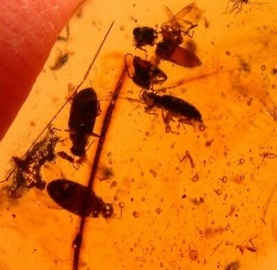 6 Beetles Menagerie in Burmite Burmese Amber Fossil from Cretaceous Dinosaur Age
