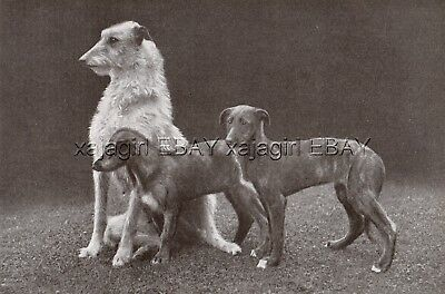 DOG Scottish Deerhound Mother & Puppies, Vintage Print 1930s