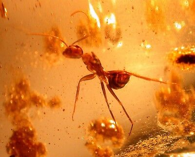 GIANT Ant with Black Ant, Spider, Bee in Colombian Copal Amber Fossil