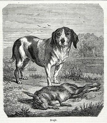 Dog Beagle Beautiful Stud with Hunting Rabbit Hare 1860s Engraving Antique Print