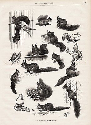Squirrel Study of Pets (Named) Large 1890s Antique Print, Article & Poem