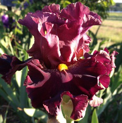TALL BEARDED IRIS : COLLECTION OF 10 UNNAMED BEARDED IRIS ***free post***