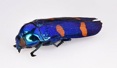 buprestidae mexico 25 mm  ultra metallic color never seen before world rarity