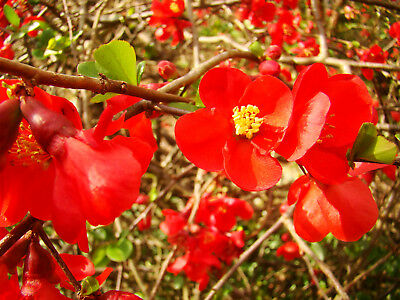 Japanese Quince CHAENOMELES JAPONICA edible fruit hardy flowering shrub