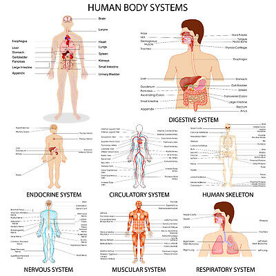 Human Body System Science  Size 800x450mm Poster home decor wall Collectors