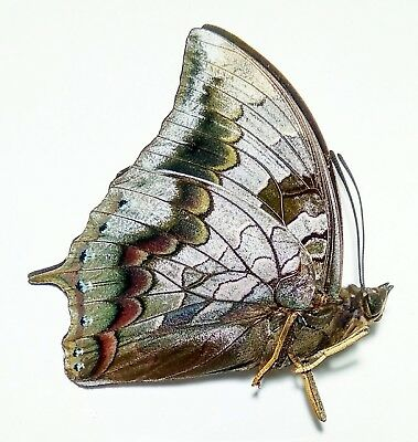 1x. CHARAXES MARS DOHERTYI - MALE - CENTRAL SULAWESI (106)