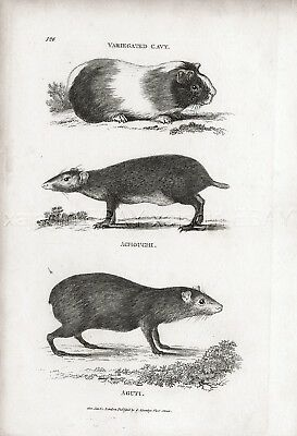 Guinea Pig, Acouchis & Common Agouti, Rare Antique Engraving Print from 1803
