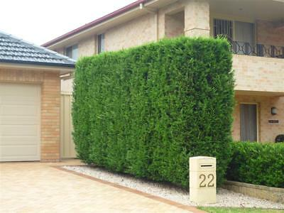 10 Leightons Green Leyland Cypress conifer plants hedge privacy screen garden