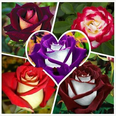 250 x Rose Samen,5 Different Colors Rare Osiria Rose Chinese Rose Flower Seeds