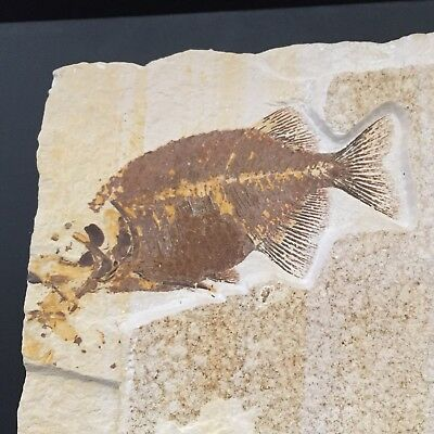 Discounted Phareodus & Mioplosus Fossil Fish (Green River Formation Wyoming)