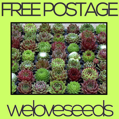 LOCAL AUSSIE STOCK - Hen & Chicks Houseleeks, Sempervivum Succulent Seeds ~20x