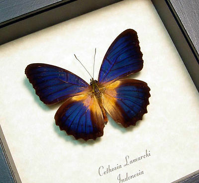 Rare Real Framed Cethosia Lamarcki Stunning Blue Butterfly 8281