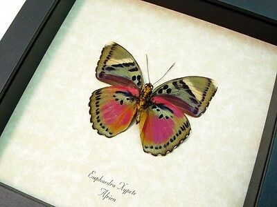 Real Framed Euphaedra Xypete Verso Pink Forester Butterfly 442