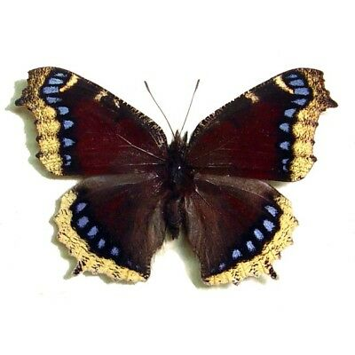 Real Framed Nymphalis Antiopa Mourning Cloak Purple Butterfly 556