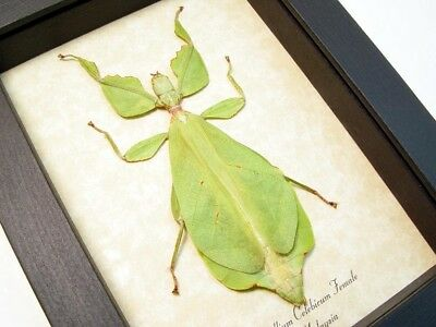 Real Framed Phyllium Celebicum Female Green Leaf Mimic Insect 7980