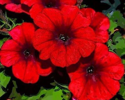 RED WAVE VELOUR PETUNIA Trailing Cascading Hanging Pots Planters Bulk Seeds