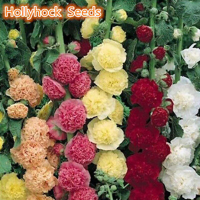 100Pcs Hollyhock Summer Carnival Mixed Chaters Flower Seeds Garden Decor Supreme