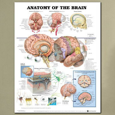 Anatomy Of The Brain Posters Anatomical Silk Cloth Chart Human Educational Decor