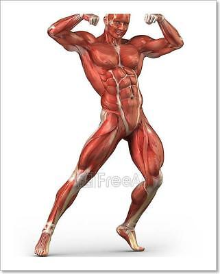 Man Muscular System Anterior View In Art Print Home Decor Wall Art Poster - C