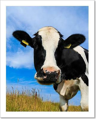 Curious Dairy Cow Close-Up In Field Art Print Home Decor Wall Art Poster - C