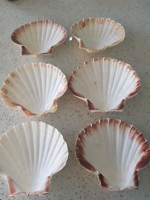 6 large scallop shells