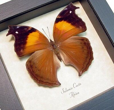 Real Framed Salamis Cacta Female Lilac Mother-of-Pearl Butterfly 422F