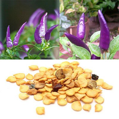 100pcs Hot Pepper Seeds Purple Chilli Plant Cayenne Seed Organic Home Garden New