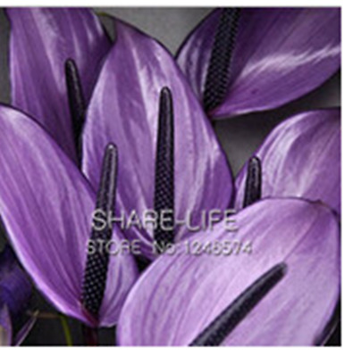 100 SEED Rare Flower Seeds Anthurium Andraeanu Seeds PURPLE ANTHURIUM A