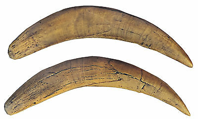 A pair of canines (teeth) of saber-toothed tiger  - a resin copy of original