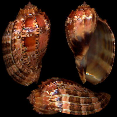 """HARPA HARPA Red """"61.7mm"""" (Philippines) #41087"""