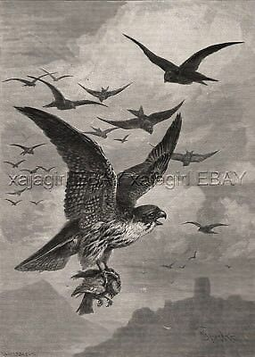 Bird Peregrine Falcon Kills Swallow, Chased by Flock, Large 1880s Antique Print