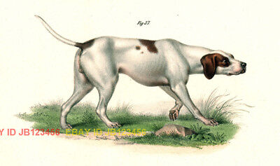 DOG English Pointer, Stunning Antique 1850s Color Print