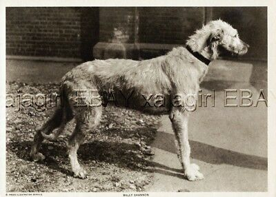 DOG Irish Wolfhound Red Cross War Dog ID'd 1918 Vintage Print & Story