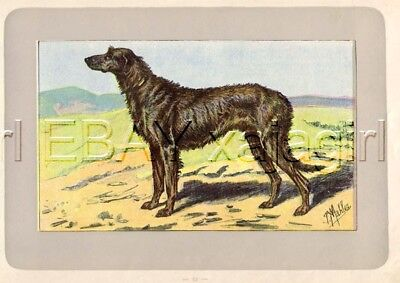 DOG Irish Wolfhound, Extremely Rare Antique 100-Year-Old French Dog Print