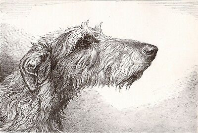 DOG Scottish Deerhound Sketch Portrait, Beautiful Art Print from 1930s