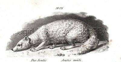 Fox Arctic White Fox, Antique 1842 Engraving Print (170 Years Old)