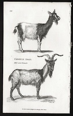 Goat Common Male Female, Rare Antique Engraving Print from 1803 (200+ Years Old)