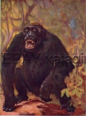 Gorilla Male, 100+ Yr Old Antique Print, Louis Sargent
